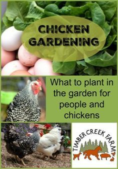 Chicken Gardening: What to plant in the garden for people and chickens.