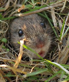 "followthewestwind: "" Bank Vole Pout by bojangles_1953 on Flickr. """