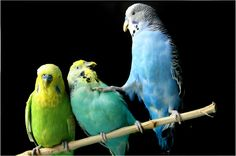 budgerigars        (photo by taceyn)
