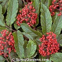Sambucus callicarpa, Pacific Red Coast Elder, Coast Red Elderberry, Red Elderberry
