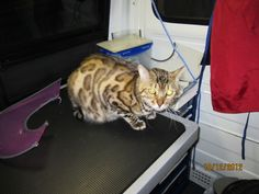 A beautiful Bengal groomed by http://www.aussiepetmobile.ca/vancouver-downtown/