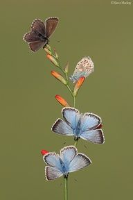 Four Chalkhill Blues ❦.Butterfly ❦