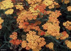 Common Yarrow (Achillea millefolium 'Fireland')