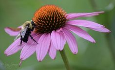 Watched this bumble bee work it's way around this Echinacea flower.