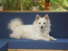 Our Dogs: White Spitz   (wittekeeshond.nl)