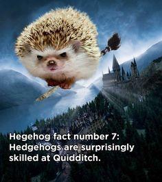 hedgehog fact