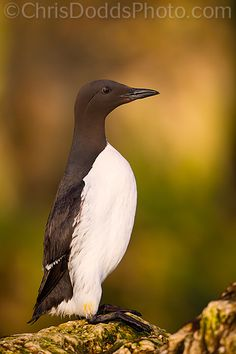 Common Murre or Common Guillemot