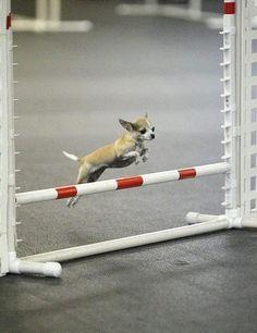 Yep, even these little guys do agility!