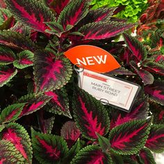Easy To Grow Houseplants Clean the Air New Coleus For Your 2018 Garden - Can't Wait Garden Center Displays, Garden Centre, Coleus, Easy To Grow Houseplants, Plants Delivered, Leaf Coloring, Snake Plant, Something New, Leaf Shapes