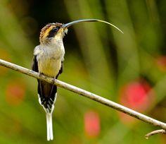 Foto rabo-branco-de-garganta-rajada (Phaethornis eurynome) por Rafael Fortes | Wiki Aves - A Enciclopédia das Aves do Brasil