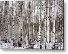 Aspens In Winter - Colorado Metal Print by Brian Harig.  All metal prints are professionally printed, packaged, and shipped within 3 - 4 business days and delivered ready-to-hang on your wall. Choose from multiple sizes and mounting options.