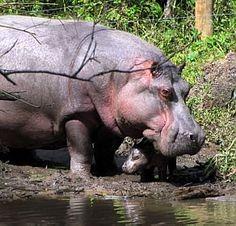 baby hippo, zoo in Sao Paulo