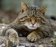 Love the big paws of the Scottish Wildcat!