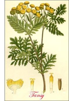 Tansy herb. Top of the list for plants that keep pests and fleas at bay.