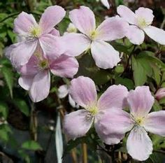 clematis montana - - Yahoo Image Search Results