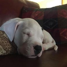 Hora de Dormir‼️‼️ _____________________________________________ (: @shadowthedogo ) #dogoargentino #dogosofinstagram  #dogosargentinosgram #picoftheday #proplan #purinaproplan #bluebuffalo #purinaone #dogoftheday #puppies #perfectdog #eukanuba #hillsciencediet #royalcanin #AnimalAddicts #cuteanimals #cutepuppy  #dogs #dog #white #whitedogs #whitebeast #animalplanet #love #lovedogs #instagood #cute #follow #like #amazing