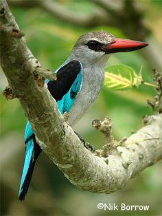 Woodland Kingfisher (Halcyon senegalensis) is a tree kingfisher found in tropical Africa, south of the Sahara and north of Pretoria.