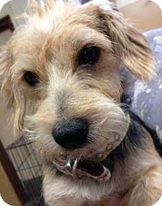 Sunnyvale, CA - Norwich Terrier. Meet Samuel, a dog for adoption. http://www.adoptapet.com/pet/13634846-sunnyvale-california-norwich-terrier