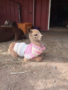 Say hello to Brody - a 3-day old alpaca in a little sweater.