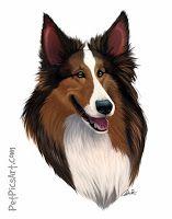 Shetland Sheepdog Pet Portrait