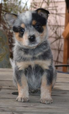 Blue Heeler puppy -- Australian Cattle Dog - Tap the pin for the most adorable pawtastic fur baby apparel! You'll love the dog clothes and cat clothes! <3
