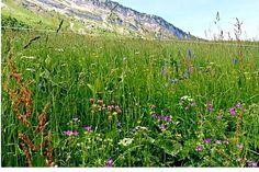 Live wild and free #wildflower #memoirsoflaClusaz