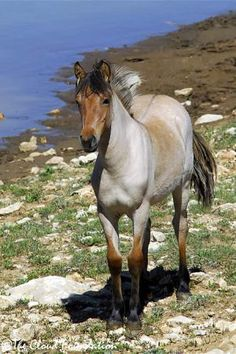 Young Bay Dun Roan (note the Dorsal Stripe) Prior Mountain Mustang. Photo: The Cloud Foundation. Most Beautiful Animals, Beautiful Horses, Beautiful Creatures, Simply Beautiful, Horse Photos, Horse Pictures, All About Horses, Majestic Horse, Wild Mustangs