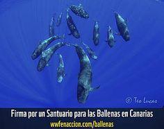 WWF celebra la caducidad de los permisos de prospecciones en Canarias y reclama el Santuario de Ballenas