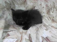TO BE DESTROYED 5/14/14 ** BABY ALERT!! PLEASE HELP SAVE THIS 5 WEEK OLD KITTEN! * Manhattan Center  My name is TUT. My Animal ID # is A0999254. I am a female black and white domestic sh mix. The shelter thinks I am about 5 WEEKS old.  I came in the shelter as a STRAY on 05/09/2014 from NY 10453, owner surrender reason stated was ABANDON