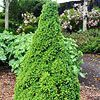 'Tiny Tower' Dwarf Alberta Spruce  Small gardens just got a new asset: 'Tiny Tower' dwarf Alberta spruce. This pyramidal evergreen gem is cute as a button, growing very slowly to 4-6 feet tall. Best of all, 'Tiny Tower' is deer-resistant and cold-hardy. It also requires little water once it is established in your garden. The plant has bright green needles that turn gray-green as they mature. Use 'Tiny Tower' in containers, or group them together in a sunny sliver of space.