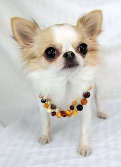 Make a RAW amber bead necklace for your dog to ward off ticks. Lots of raw amber on Etsy.com.