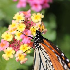 Monarch on Lantana - available in cards, prints & posters
