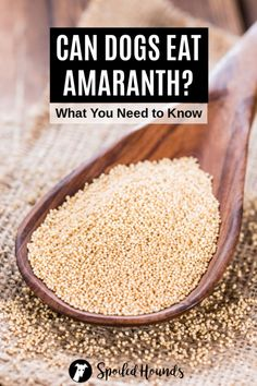 Can dogs eat amaranth? Keep your dog safe and find out what you need to know about dogs eating amaranth seeds, flour, and plants. #dogsafety #doghealth #dogs #doglovers #doginformation #dogownertips #pethealth #amaranth Amaranth Plant, Amaranth Grain, Dog Eating, Eating Raw, Free Dog Food, Healthy Seeds, Can Dogs Eat, Pet Health