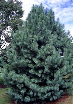 -Pinus ayacahuite ;Forest Sky 100+ ft An excellent substitute for White Pines Klehm Song Sparrow Farm and Nursery--