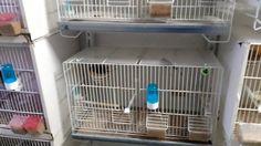 La cria de canarios ( preguntas y respuestas sobre la cria)