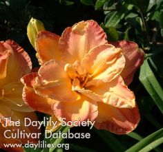 Daylily =Nell Dean Joiner