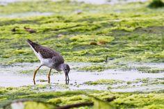 Foto maçarico-grande-de-perna-amarela (Tringa melanoleuca) por Celuta Machado | Wiki Aves -