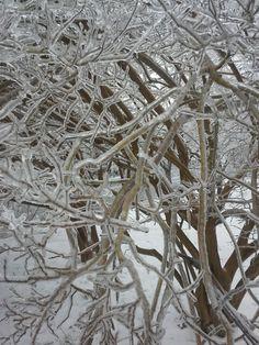 Frozen crepe myrtle