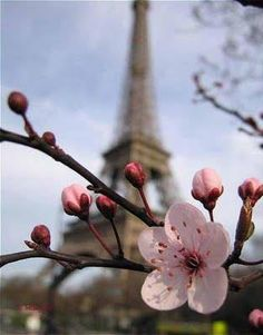 #Printemps à #Paris. Who doesn't want to be staring at the #Eiffel Tower via a beautiful pink flower?