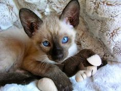 Carolina Blues Cattery Siamese Kittens for sale in Charlotte, NC. Pet cat breeders of purebred registered champion kittens. Home raised, healthy, happy pets. Seal point Siamese and Chocolate point Siamese kittens for sale in Charlotte NC. Snowshoe Kittens, Siamese Kittens, Cats And Kittens, Kitty Cats, Siamese Cats For Sale, Tabby Cats, Funny Kittens, Bengal Cats, White Kittens