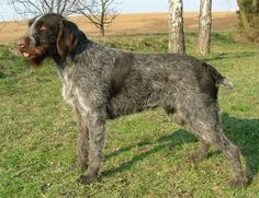 The Cesky Fousek was bred in the 19th-century Czech Republic for game pointing.  It is one of the most popular hunting dogs in the Bohemian region for its responsiveness, although some individuals are quite headstrong.  Almost all are good with children.  The breed is amenable to any climate & needs little grooming.