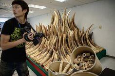 Com 30.000 elefantes africanos mortos a cada ano por seu marfim, colocando a espécie em um risco real e iminente de extinção, ativistas pediram o desmantelamento do comércio global de marfim.