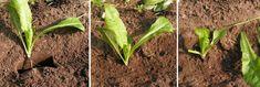 24) Witlof kweken – sjeftuintips Compost, Herbs, Plants, Herb, Flora, Plant, Spice, Composters