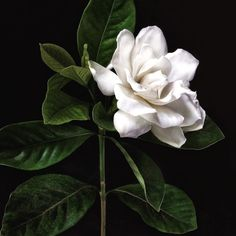 Find your light Exotic Flowers, Tropical Flowers, Amazing Flowers, Beautiful Roses, Beautiful Gardens, White Flowers, Beautiful Flowers, Gardenias, Gardenia Bush