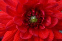 Poster & Download: Blume Blüte blühen Rot Sommer Pflanze Natur Kategorien: landschaften, flower, blossom, bloom, red, summer, plant, nature, garden