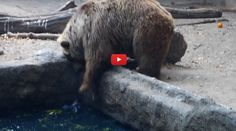Real Life Care Bear? Amazing Video Shows Gentle Giant Delicately Rescue a Drowning Crow from a Pond