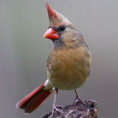 State Bird of West Virginia - Northern Cardinal Exotic Birds, Colorful Birds, West Virginia State Bird, Hawk Bird, Northern Cardinal, State Birds, Cardinal Birds, Nature Animals, Animals Dog