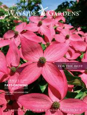 Wayside Gardens - Spring 2017 Trees and Shrubs Catalog - Miss Molly Butterfly Bush