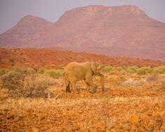 Desert-adapted elephant against the dramatic Etendeka Mountains Rocky Hill, Africa Travel, Diversity, Mammals, Wilderness, Safari, Deserts, Wildlife, Elephant