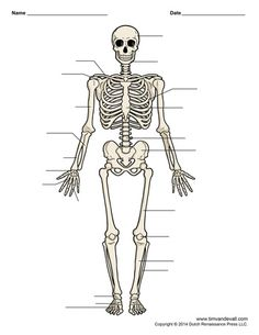 FREE Unlabeled Black White Printable Human Skeleton Diagram Worksheet From Tim Van Der Vall